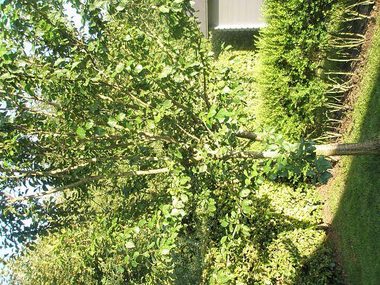 klipning af blommetræ
