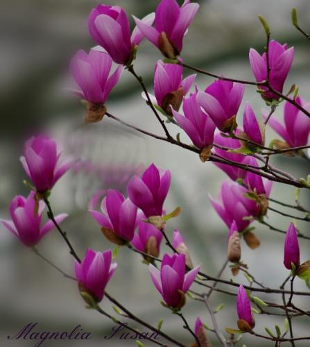 Magnolia træ plantning