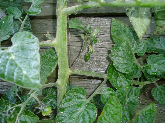 tomatplanter sygdomme