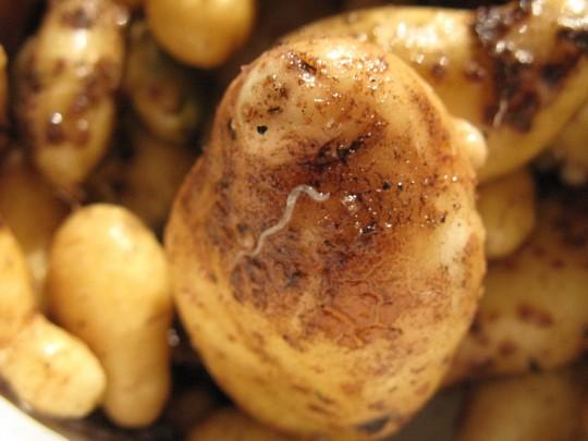 orm i kartofler