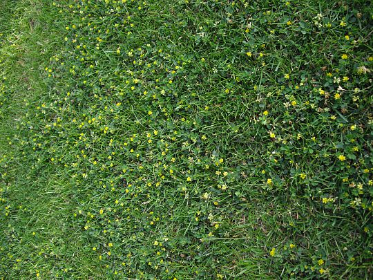 Ukrudt i græsplænen gule blomster