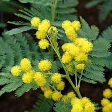 mimose træ