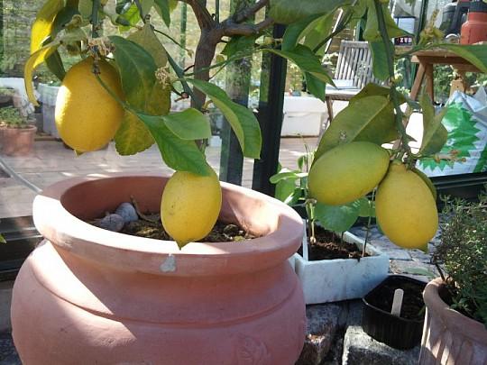 Citrontræ tilbud