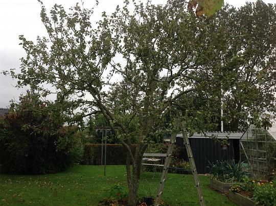 beskære æbletræ