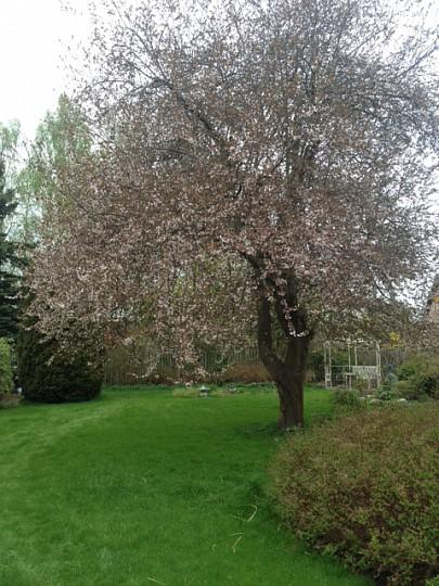 Køb stort blommetræ