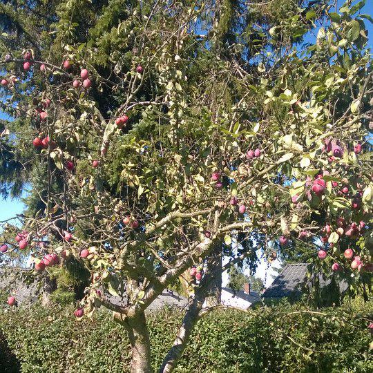 Blommetræ