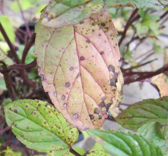chokolade mynte plante