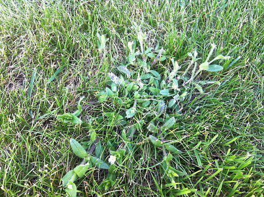 Ukrudtsbekæmpelse i græsplæne