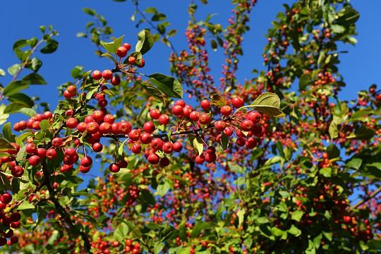 træ med røde frugter