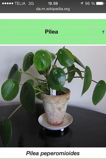 pilea plante køb