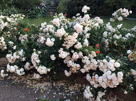 fairy roser beskæring