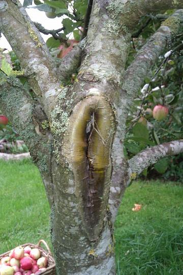 sygdom i æbletræer