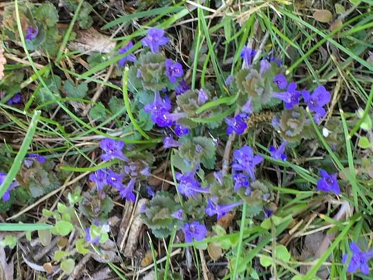 Ukrudt i græsplænen lilla blomster