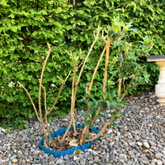 Sommerfuglebusk plantning