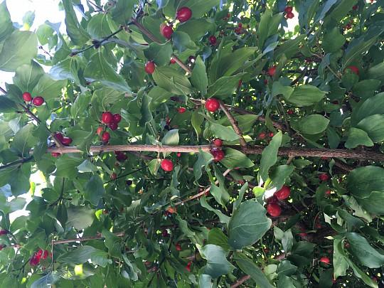 træ med røde bær