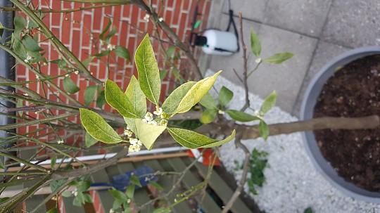 Appelsintræ taber bladene