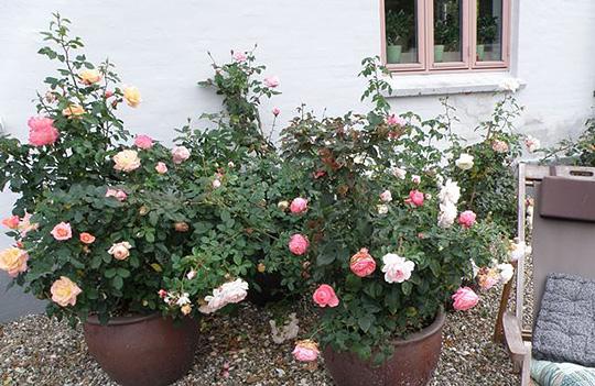 Havenyt.dk   krukkede roser og roser i krukker