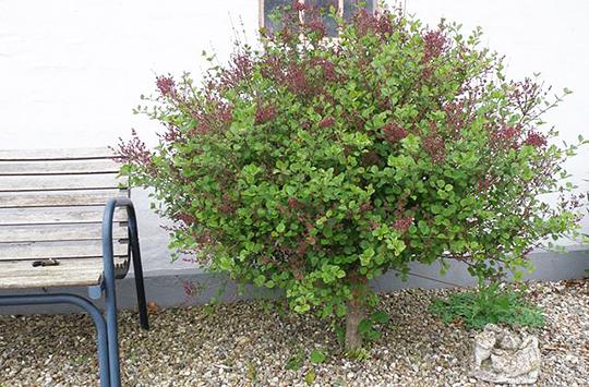 prydtræer til haven