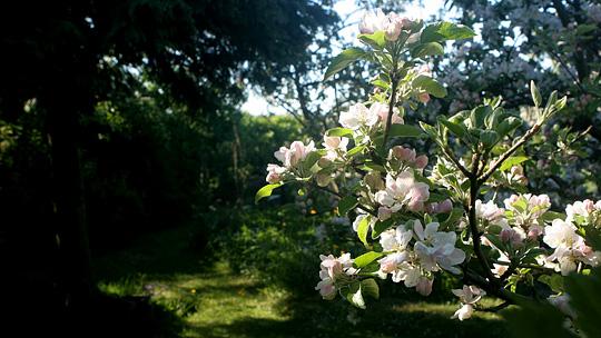 Men også en af forsommerens flotteste blomstringer foto karna maj
