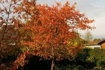 Havenyt.dk - Træer og buske med glødende høstfarver