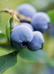 formering af blåbær
