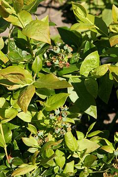 artikler koekkenhaven frugttraeer og buske .