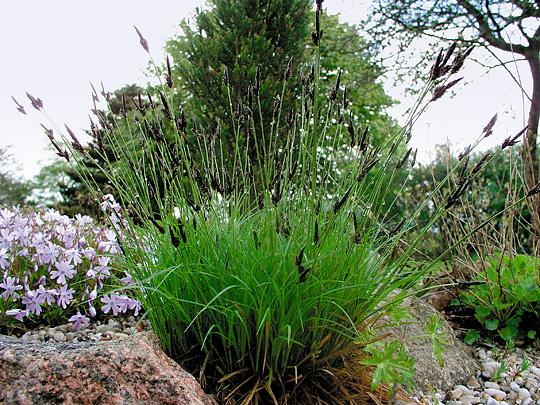 Stedsegrønne græsser | Møbler til terrassen og haven