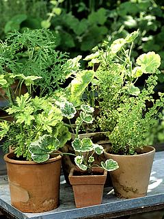 Duftpelargonier kan have mange forskellige bladformer