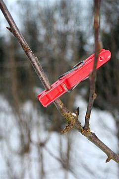 podning på gamle æbletræer