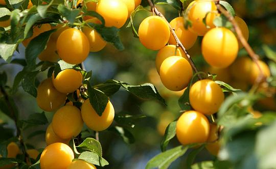 Mirabel frugt