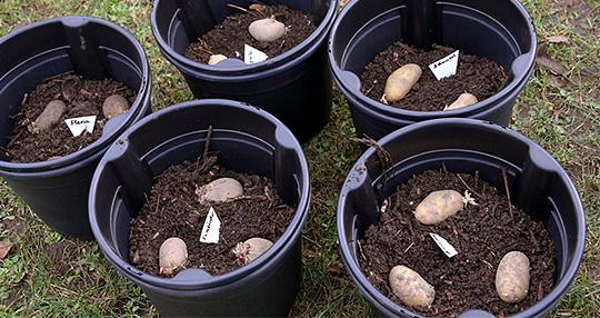 plant kartofler i spand