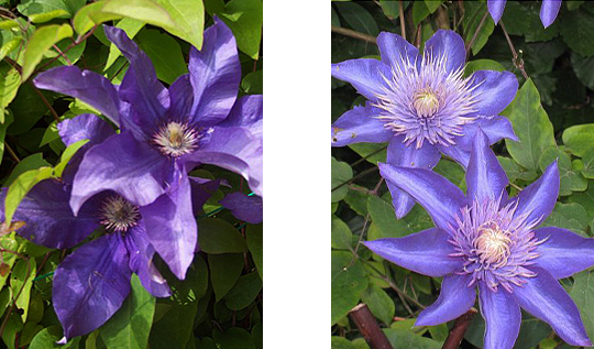 Clematis 'The President'.