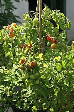 Tomater dyrket i krukke