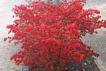 Rødbladet træer