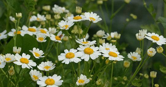 hvid blomst med gul midte navn