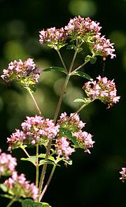 Oregano blomst