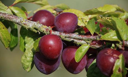 Mirabelle frugt