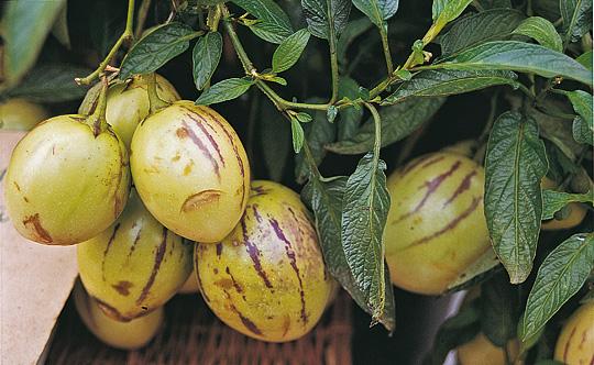 Melonpære