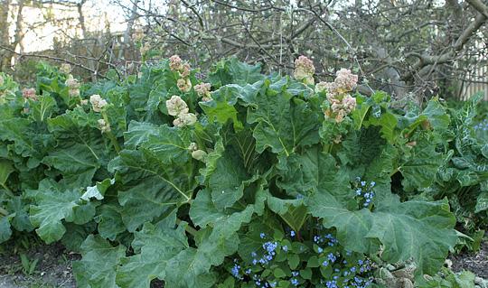 rabarber plante