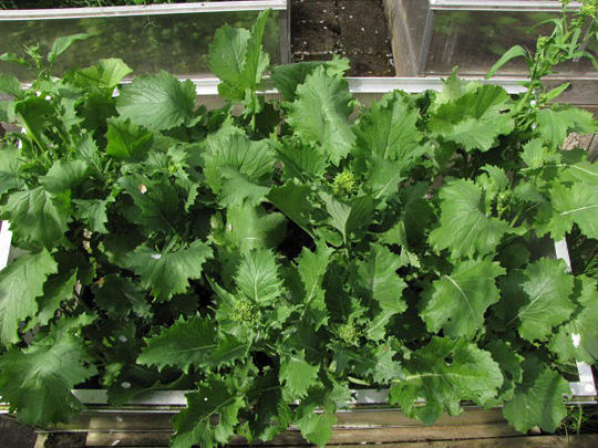 Rapini dyrkes for sine blomaterskud.
