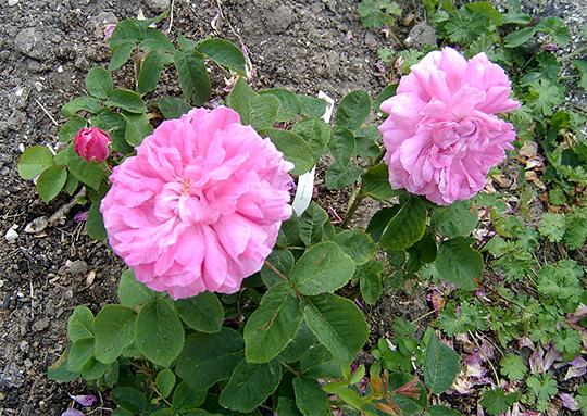 roser i krukker vinter
