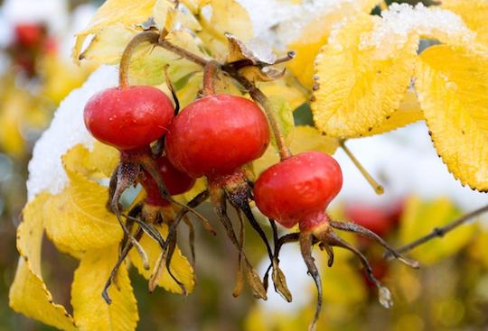 Hybenrose rosa rugosa