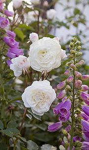 astrid lindgren rose beskæring