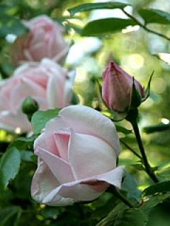 Opstammede roser krukker