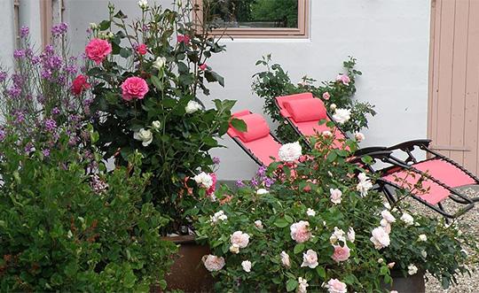 Havenyt.dk   roser i krukker