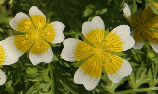 diabetes de limnanthes douglasii ssp sulphurea