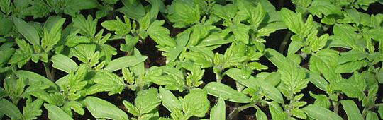 tomatplanter til prikling