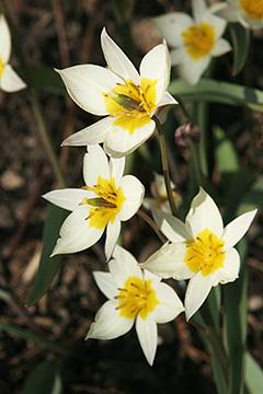 Havenyt.dk - Botaniske tulipaner