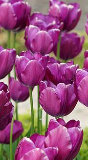 Tulipanløg opbevaring