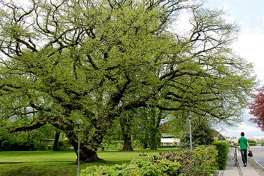 Hassel træ